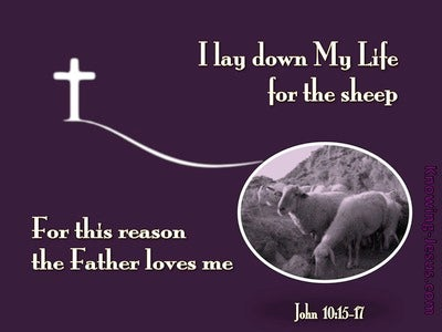 John 10:17 I Lay Down My Life For The Sheep (purple)